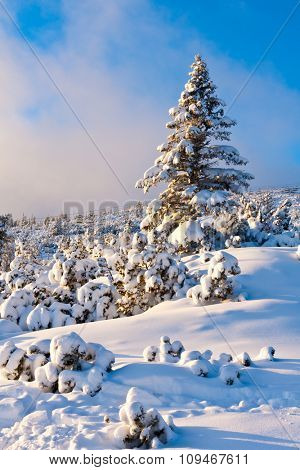 Nice winter scene with pine under snow in mountains