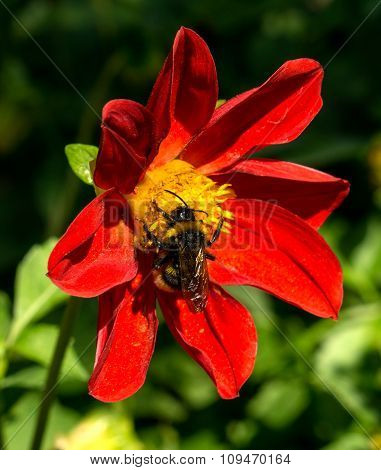 Bee Collects Pollen From Red Flower Clematis In The Garden