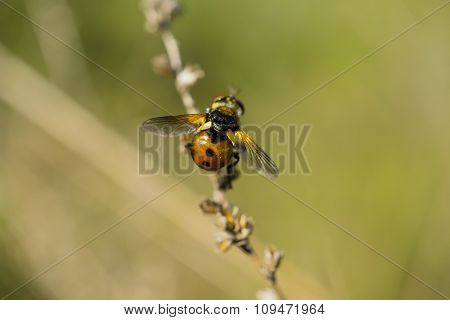 Orange Winged Beetle Like A Ladybug On The Plant