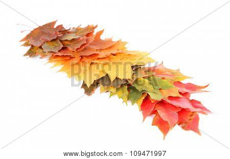 Autumn maple leaves, isolated on white