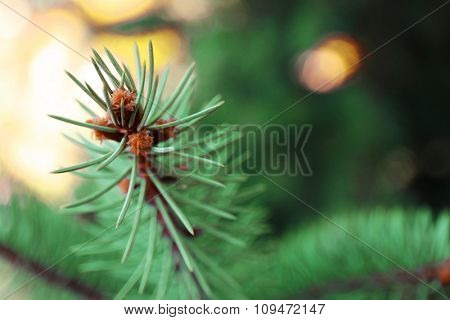 Branch of green spruce, closeup