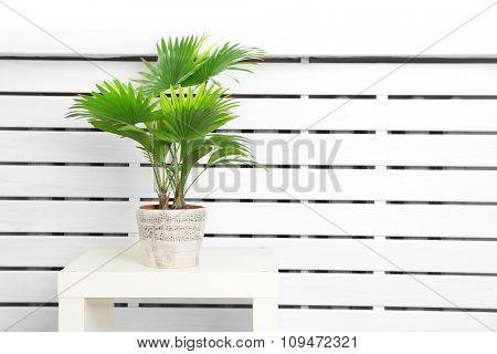 Palm tree (Livistona Rotundifolia) in flowerpot on table at home