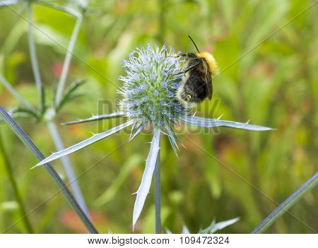 Bumblebee Collecting Pollen From Flower Of Prickly Weed Macro