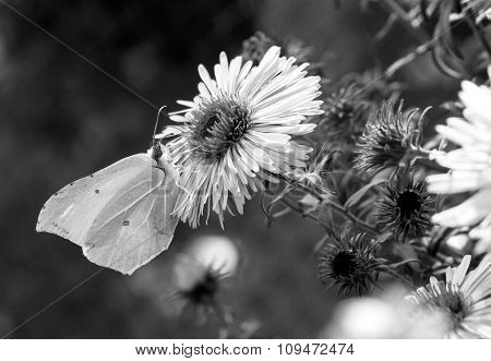 Butterfly Collecting Pollen From The Flower Macro Black And White