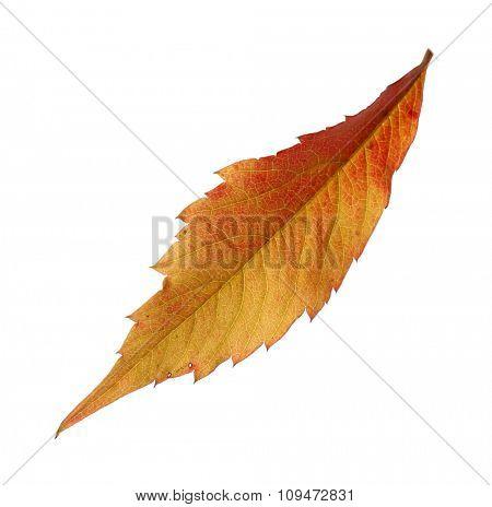 Autumn orange leaf isolated on white