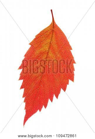 Autumn red leaf isolated on white