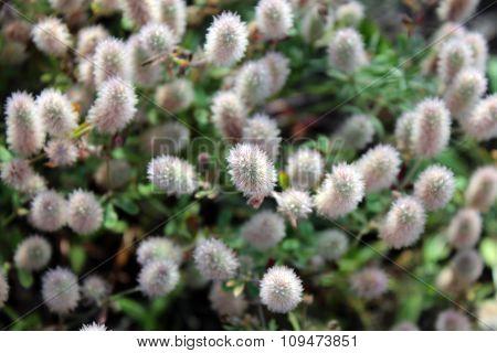 Trifolium Arvense.