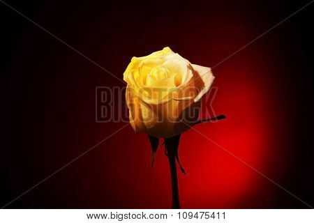 Beautiful coloured rose on red background