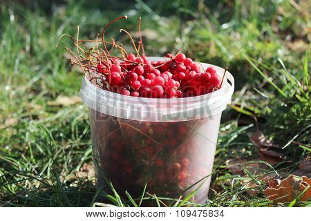 Bucket Full Of Ripe Schizandra