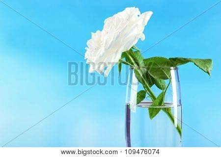 Beautiful rose in vase on blue background