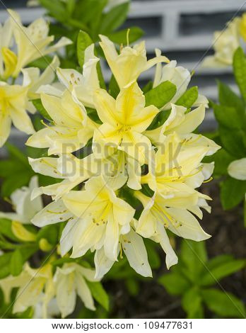 Bunch Of Chinese Yellow Flowers On A Green Grass Background