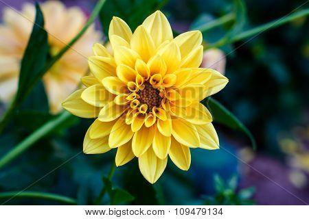 Contrast Yellow Flower Dahlia Macro In Garden Filtered