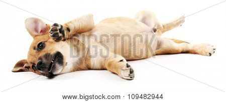 Puppy isolated on white