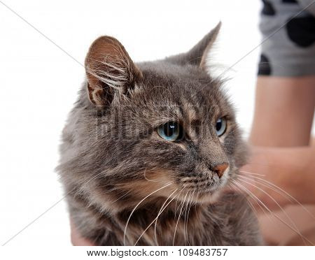 Woman holds beautiful grey cat on white background