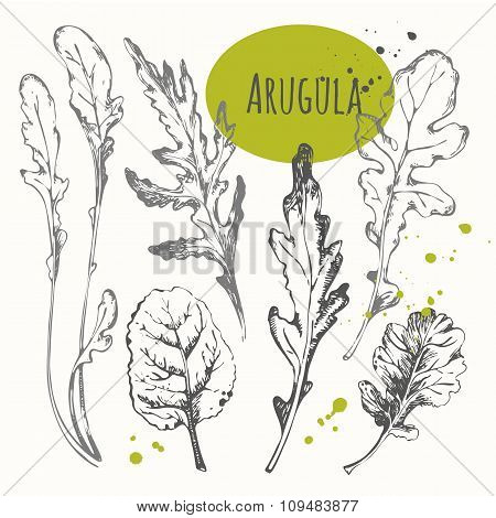 Set of hand drawn arugula. Black and white sketch herbs.