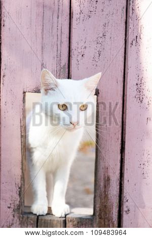 White cat look through window in wooden fence