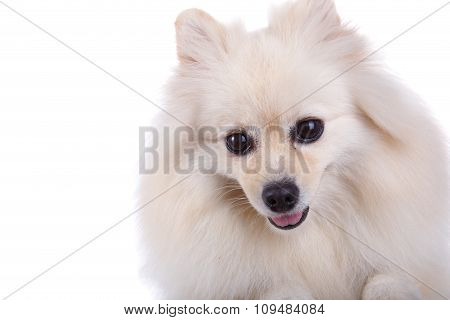 White Pomeranian Dog Close Up Face