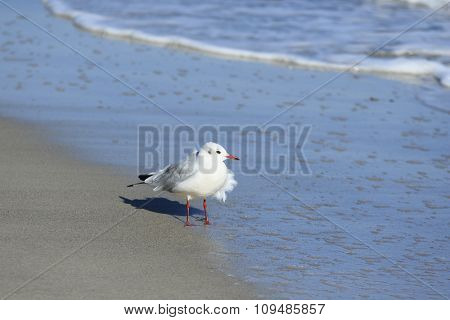 Gull Chick At The Beach