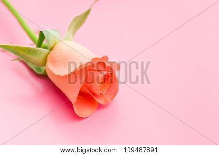 orange rose flower on pink background