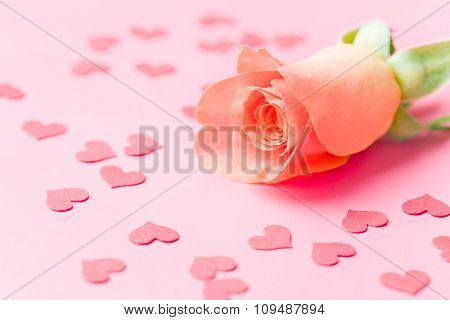 rose flower and hearts on pink background