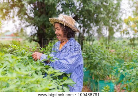 Senior Farmer Woman With Picking Chili From Vegetable Garden