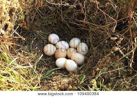 Nest Of The Hen With Ten Eggs