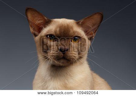 Closeup Portrait Of Burma Cat On Gray