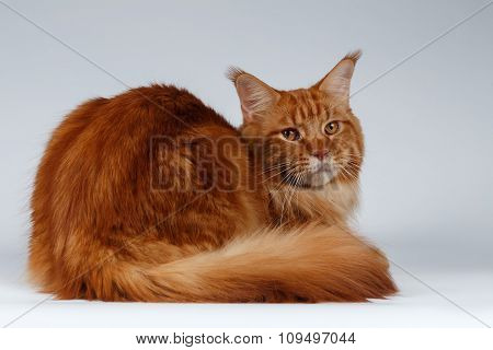 Maine Coon Cat Lies And Turned Back On White