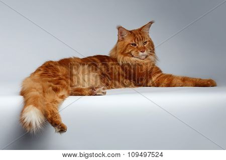 Maine Coon Cat Lies On White