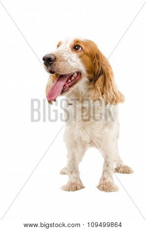 Portrait of a funny dog breed Russian Spaniel