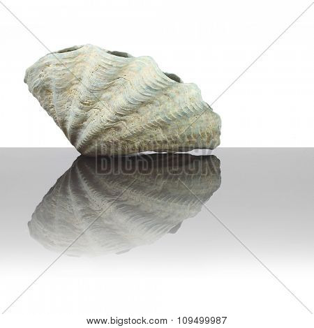 Sea shell of The Fluted Giant Clam on glass plate. Decorative object on white background.