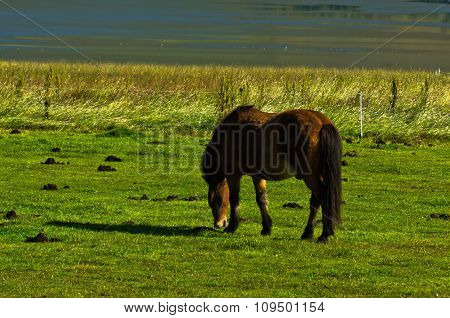 Icelandic horse on a meadow over the Akureyri fjord at sunny summer day