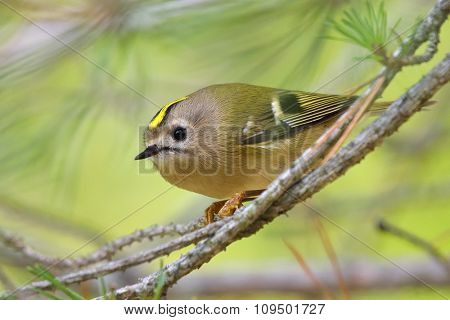 Golden-crowned Kinglet in natural habitat (regulus regulus)