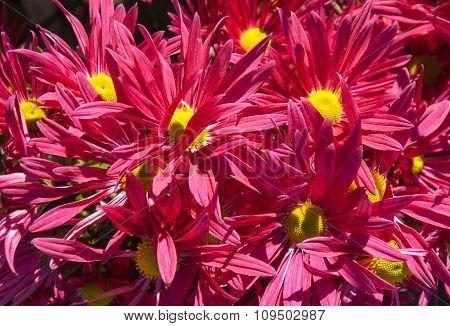 Bright pink chrysanthemum