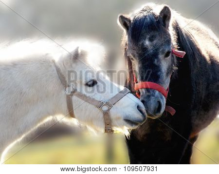 Two Ponies In Contact