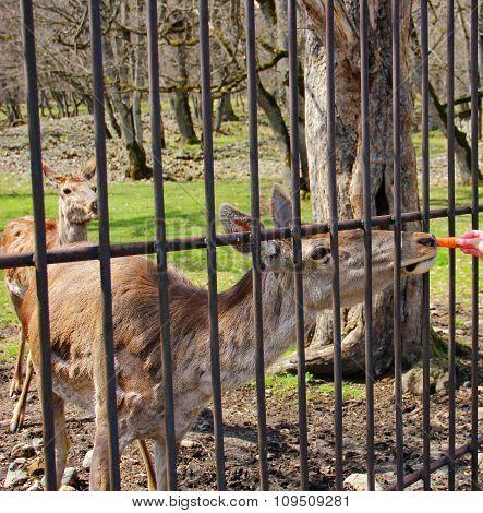 deer eats carrots