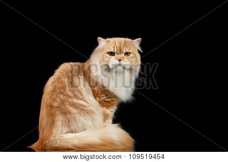 Red Big Adult Persian Cat Angry Sits And Turned Back On Black