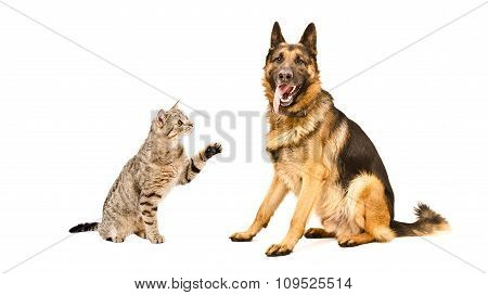 German Shepherd  and curious cat Scottish Straight
