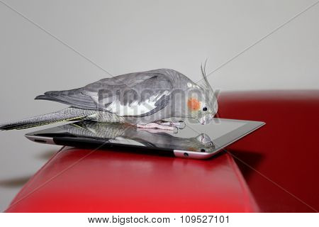 Parrot on the tablet device
