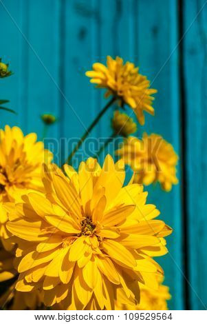 Bright yellow flowers on blue wooden background