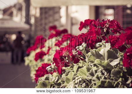 Red Gardenium Flowers In A Street Restaurant