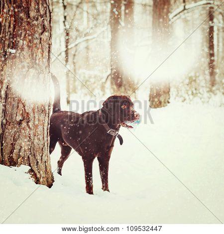 Adult Brown Labrador Retriever Playing