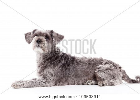 Sweet Grey Dog On White