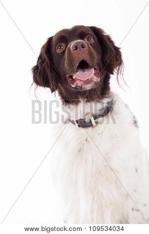 Dutch Partridge Dog On White