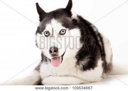 Husky On White