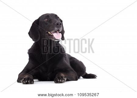 Obedienced Labrador