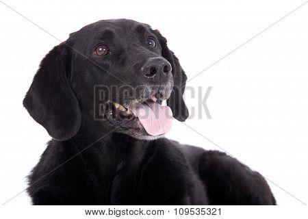 Labrador With Tonque