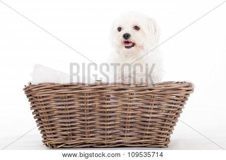 Maltezer In A Basket