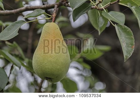 Pear fruit hanging from the branches of a pear tree