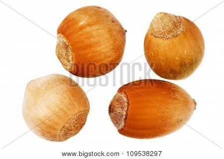 Four Forest Hazelnuts